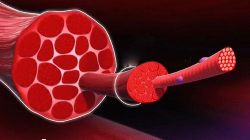 muskel-regeneration